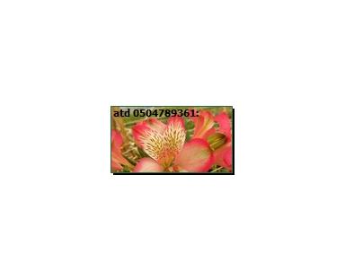 Alpi Alstroemeria Pink