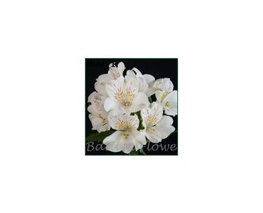 Alwh Alstroemeria White