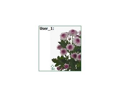 Chpu Daisy Chrysanthemum Purple Small Romashka