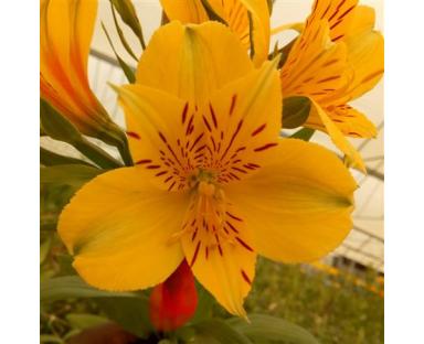 Alye Alstroemeria Yellow