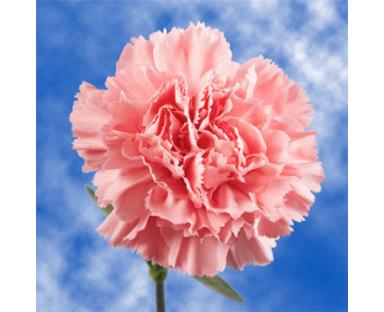 Capi Carnations Pink