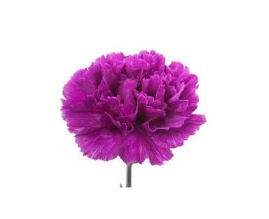 Capu Carnations Purple