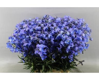 Debl Delphinium Blue