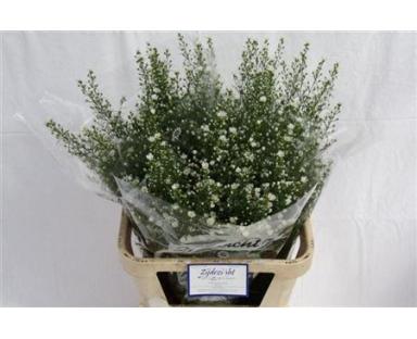Chwh Small Santini White Chrysanthemum