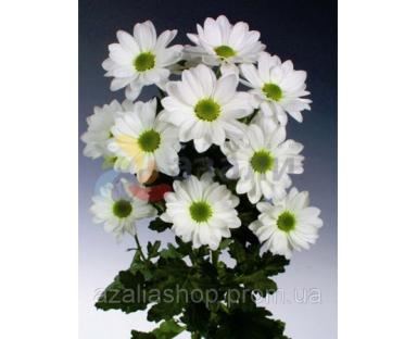 Chwh Daisy White  Chrysanthenum