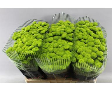 Chgr Chrysanthemums Button Small Green